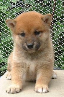 ★JR東日本イオカードにこの柴犬の子犬の画像が使われました。 柴犬ブリーダー(赤根川辰巳荘)の犬舎で生まれた柴犬の子犬です。