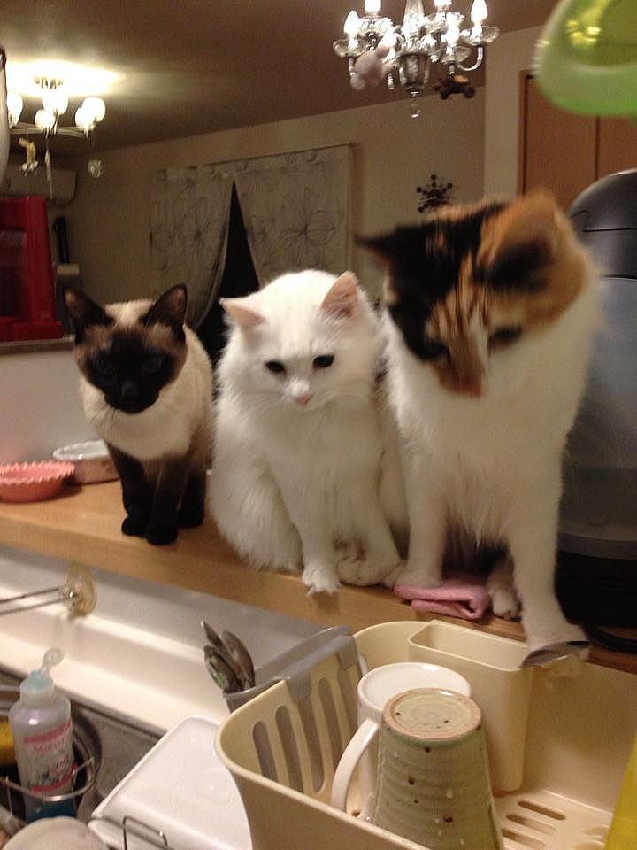 可愛い猫ちゃん/今日のお料理何だろなっ!? 3人揃ってお料理に夢中です(笑) 左からゆきみちゃん、そらみちゃん、はなみちゃんです。  こんな感じで仲良く並ばれると ...